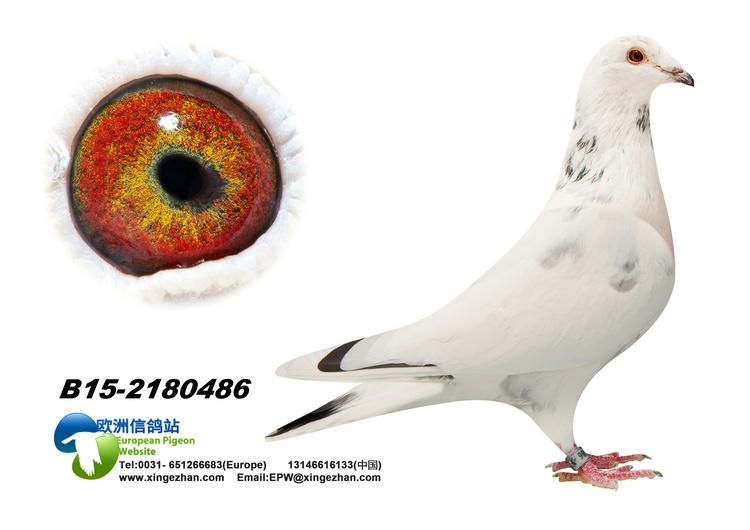 动物 鸽 鸽子 鸟 鸟类 750_530