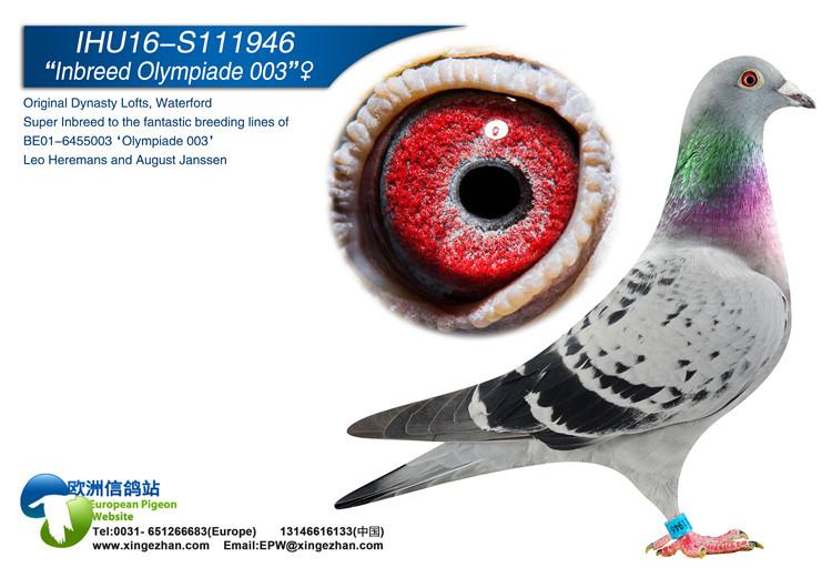 inbreed olympiade 003 european pigeon website
